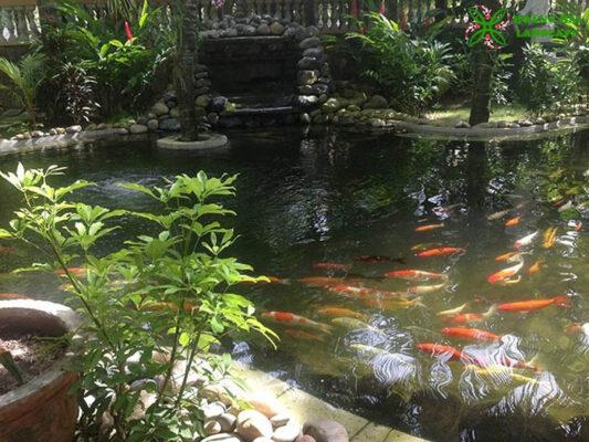 Thiết kế thi công hồ cá koi tại Tiền Giang