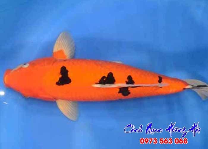 Cá koi Bekko