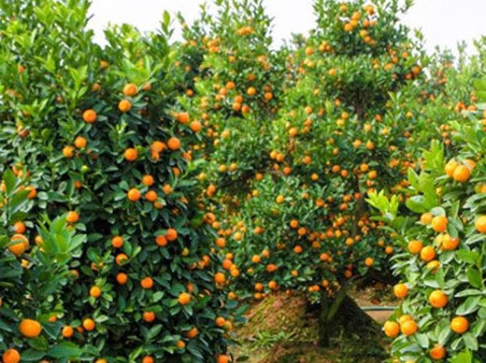 Các loại cây họ cam quýt