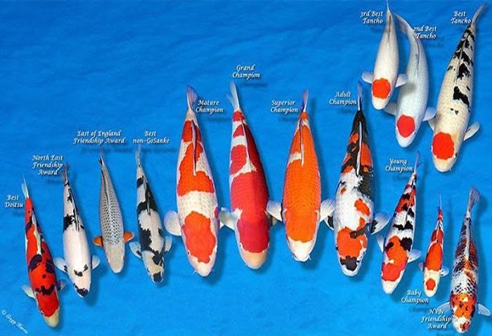 Chọn cá koi đẹp có thân hình cân đối - Cảnh Quan Hoàng Hải