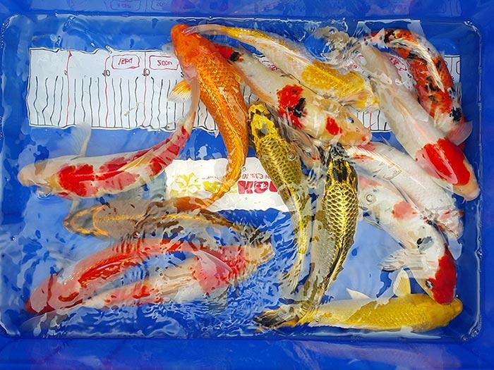 Đánh thuốc cho cá koi trước khi thả vào hồ nuôi - Cảnh Quan Hoàng Hải