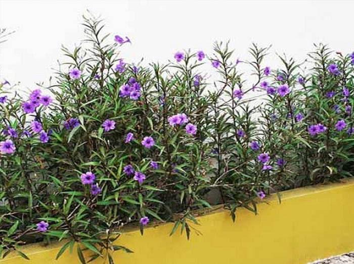 Hoa chiều tím