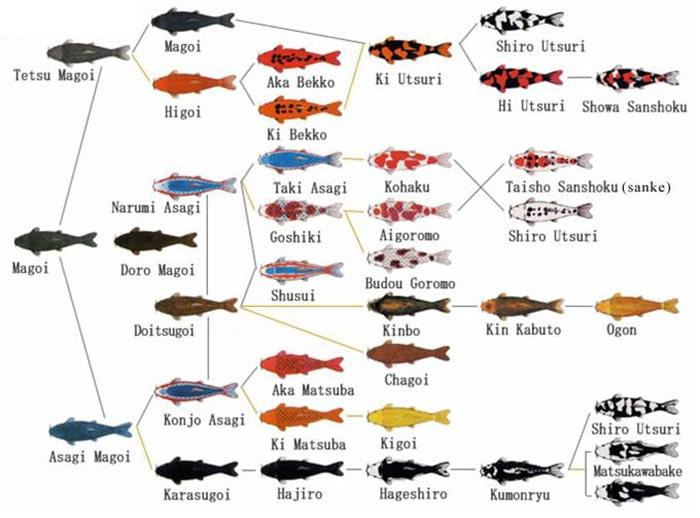 Sơ đồ lai tạo các dòng cá koi