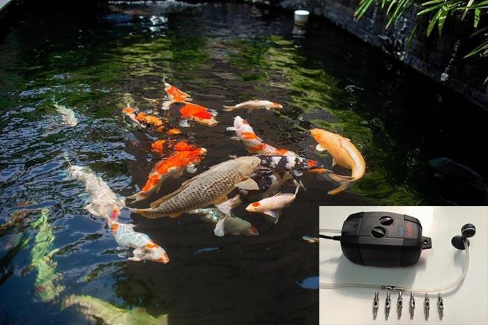 Sục thêm khí oxy khi trời mưa để cá hô hấp tốt hơn