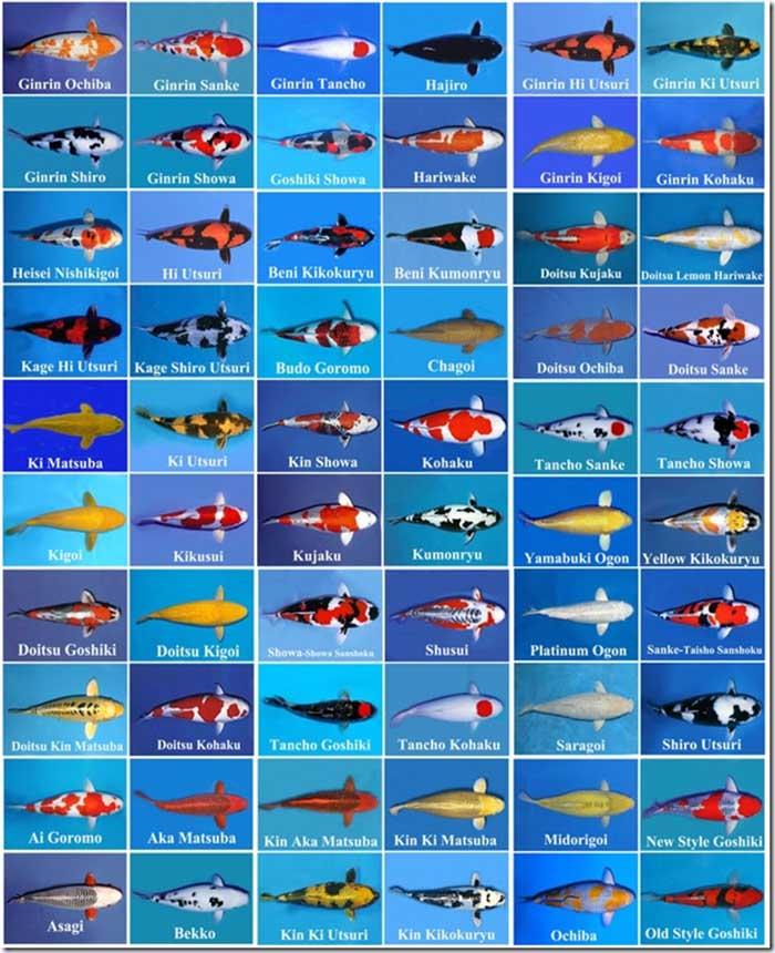 Màu sắc và các loại cá koi