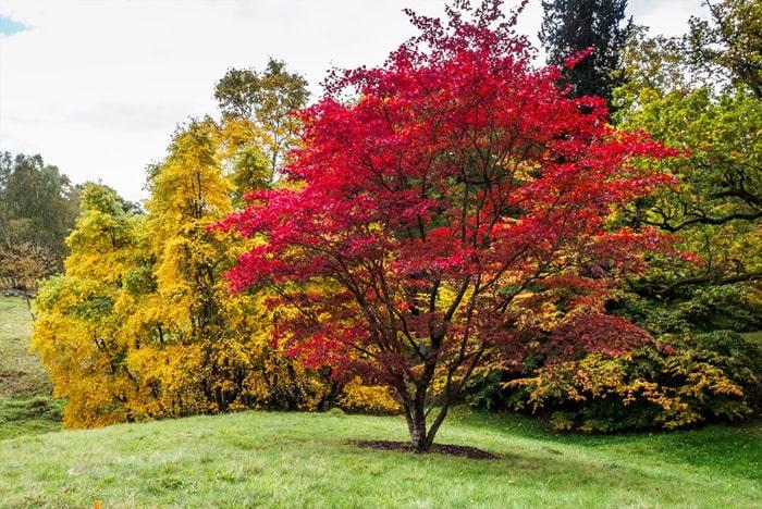 Cây Acer palmatum - Cây Phong