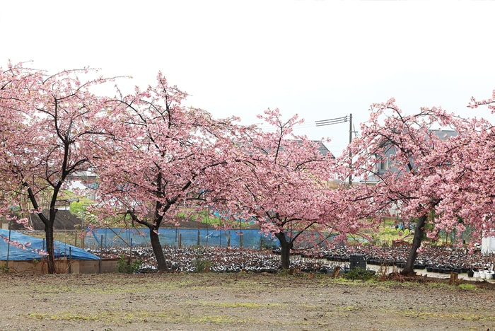 Cây rụng lá - Prunus