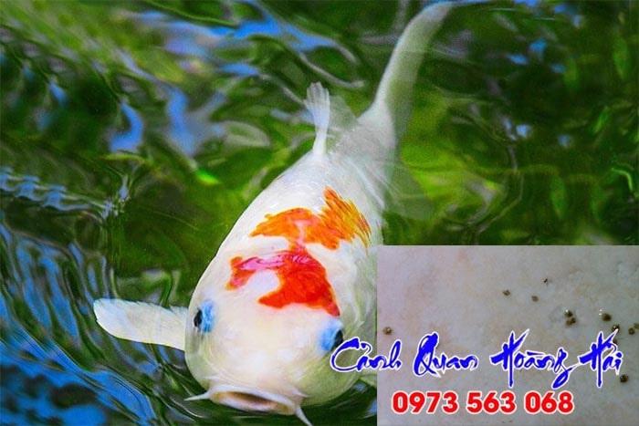 Cách trị rận nước trong hồ cá