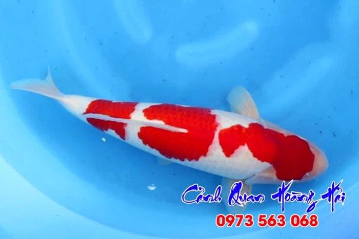 Lựa chọn cá koi đẹp dựa trên thân hình cá