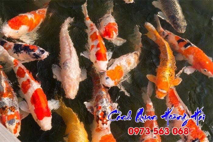 hướng dẫn cách chọn mua cá koi đẹp khỏe mạnh khỏe